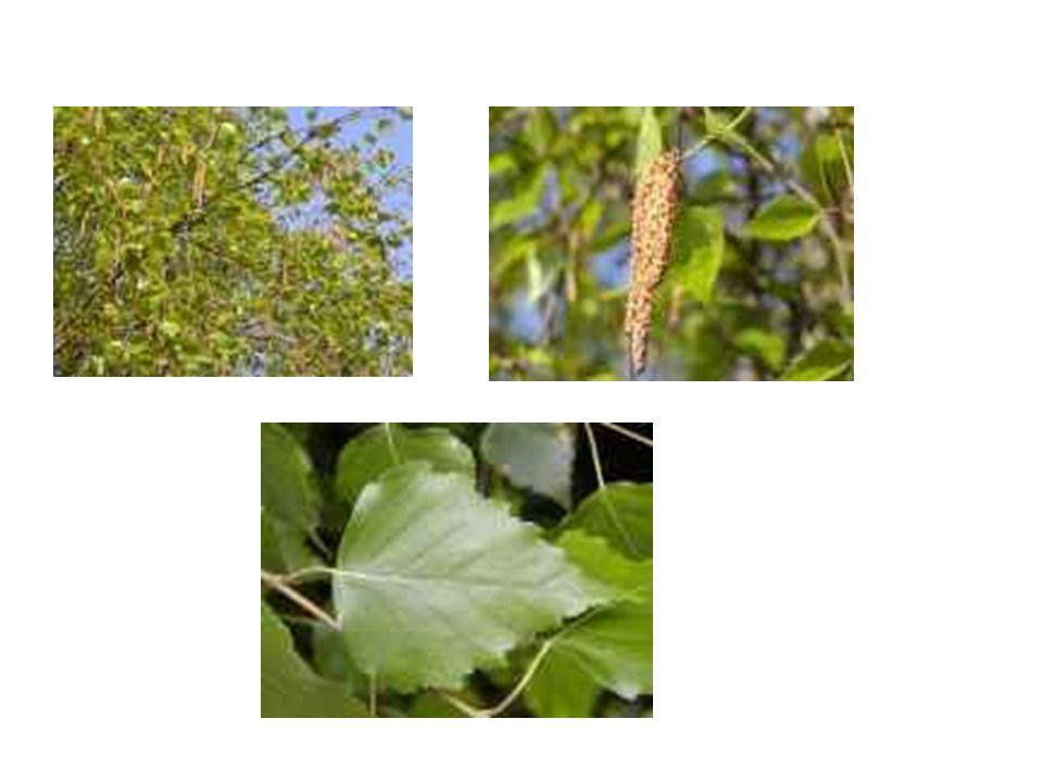 Lípa srdčitá L ípa se mění v průběhu roku i v průběhu svého života, přezimuje bez listů, neroste.