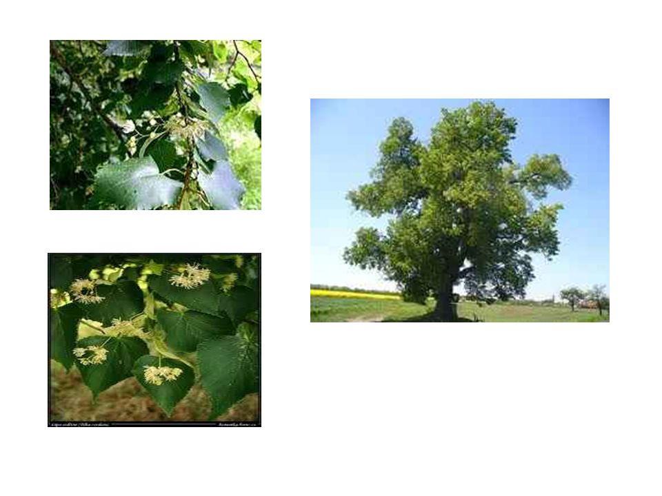Dub letní Má laločnaté listy, rozložitou korunu, plod dubu – žalud Dub roste velmi pomalu a žije i několik tisíc let, dorůstá výšky až 30-40m Má velmi pevné kořeny, odolává vichřicím Dřevo je velmi tvrdé, používá se na výrobu nábytku nebo pro vodní stavby, protože ve vodě ještě ztvrdne