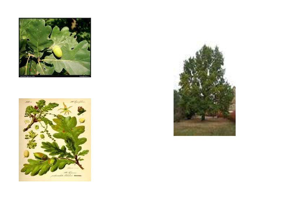 Buk lesní typický strom pro pahorkatiny a podhůří hor, dorůstá výšky až 50m, vejčité listy, hladký šedý kmen plody - bukvice dřevo načervenalou barvu, tvrdé, vhodné pro výrobu parket a nábytku lesu, ve kterém rostou převážně buky, říkáme bučina