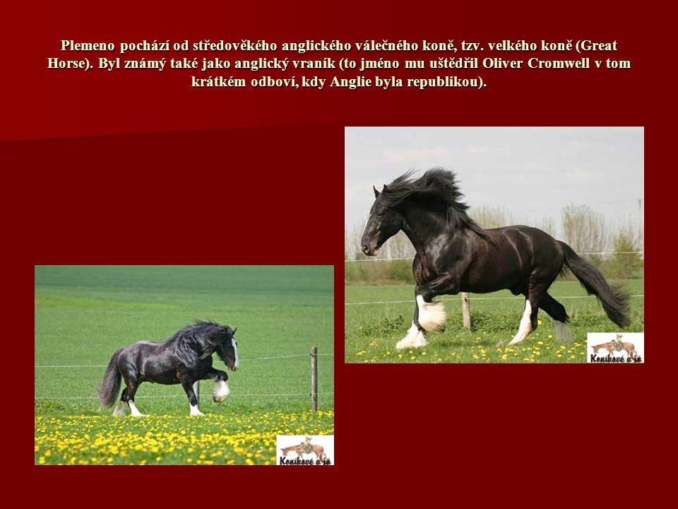 Plemeno pochází od středověkého anglického válečného koně, tzv.