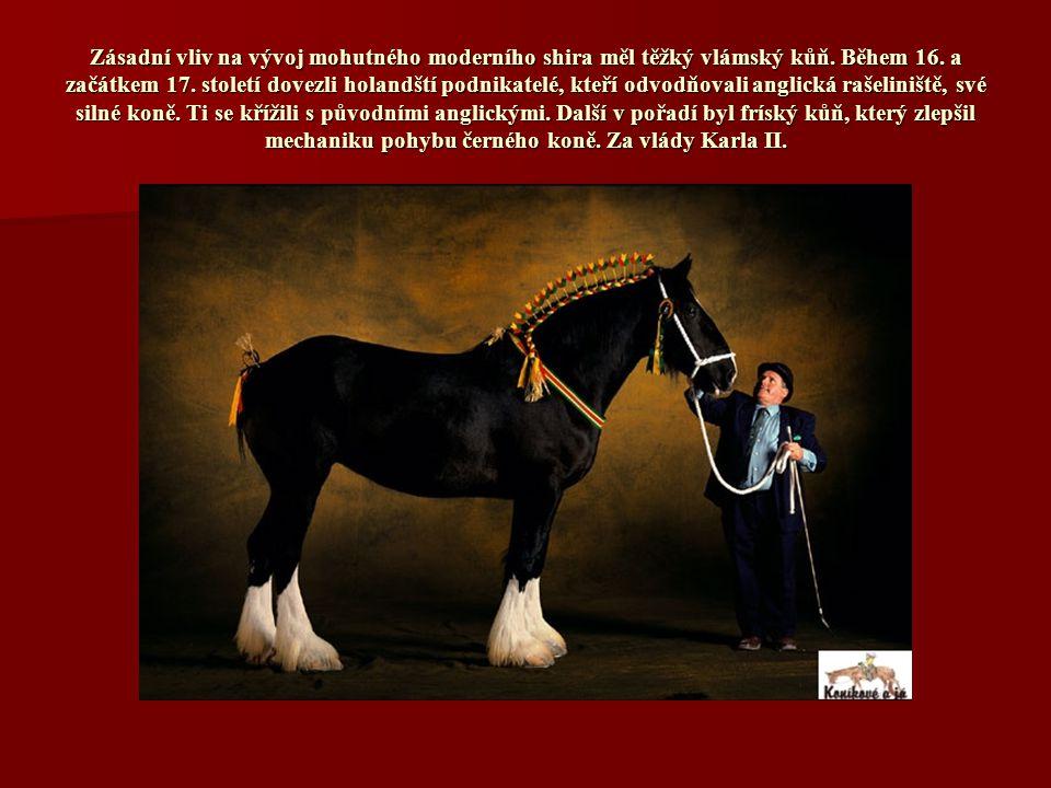 Zásadní vliv na vývoj mohutného moderního shira měl těžký vlámský kůň.