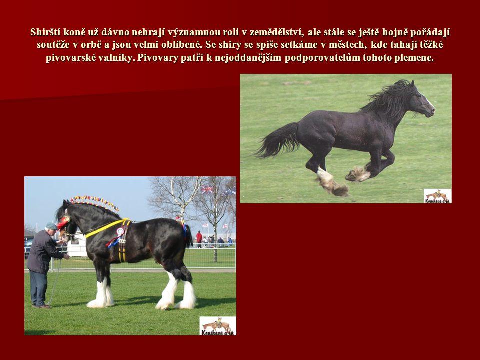 Shirští koně už dávno nehrají významnou roli v zemědělství, ale stále se ještě hojně pořádají soutěže v orbě a jsou velmi oblíbené.