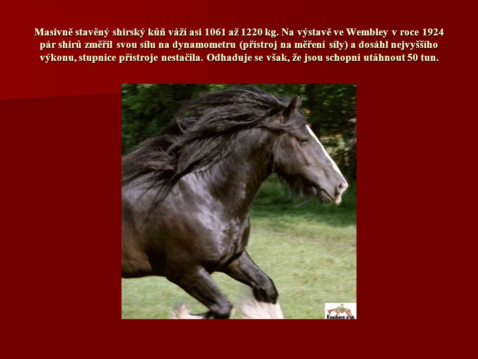 Masivně stavěný shirský kůň váží asi 1061 až 1220 kg.