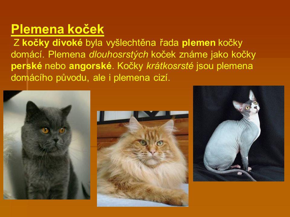 Plemena koček Z kočky divoké byla vyšlechtěna řada plemen kočky domácí.