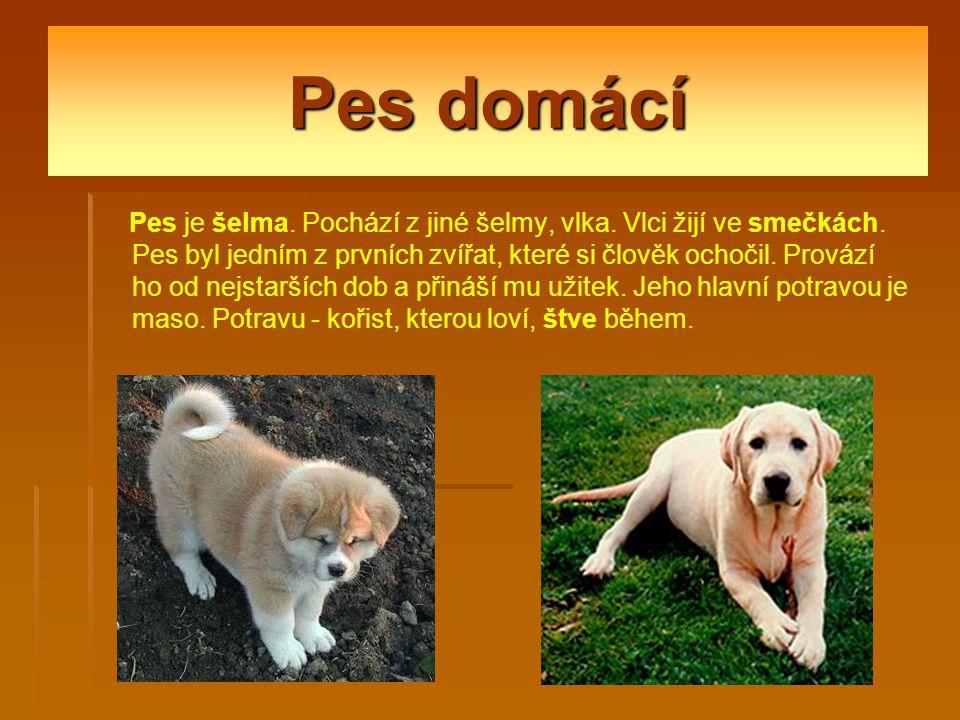 Pes domácí Pes je šelma.Pochází z jiné šelmy, vlka.
