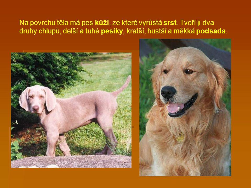 Na povrchu těla má pes kůži, ze které vyrůstá srst.
