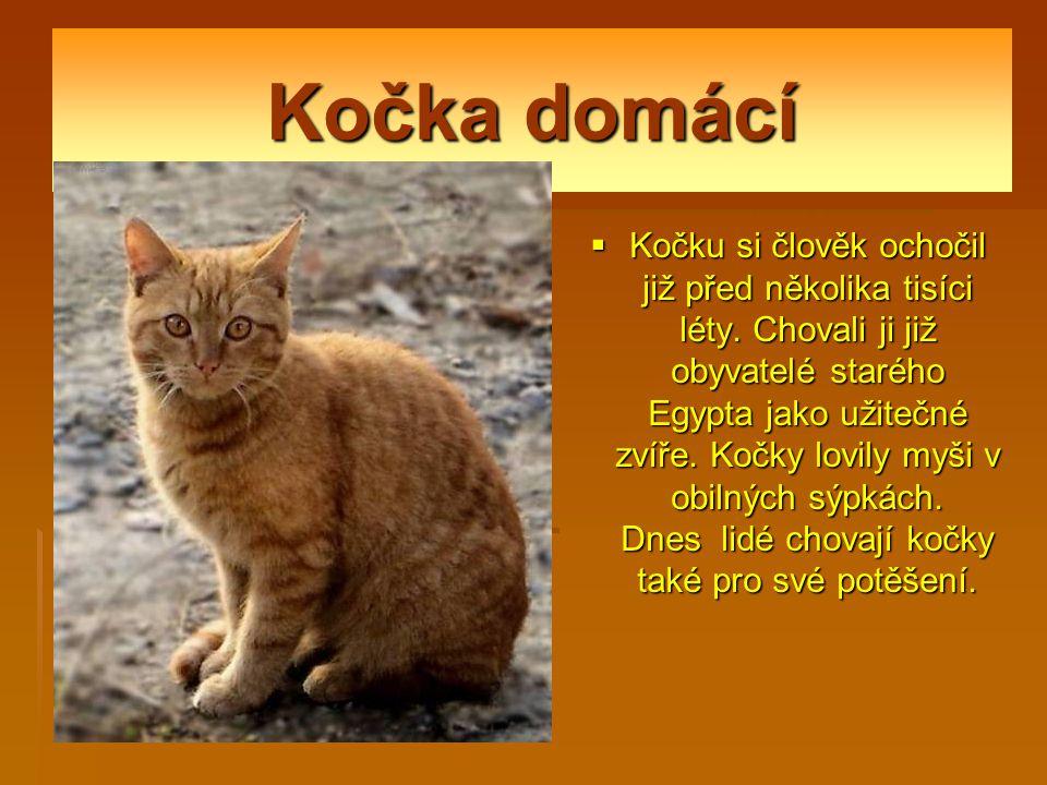 Kočka domácí  Kočku si člověk ochočil již před několika tisíci léty.