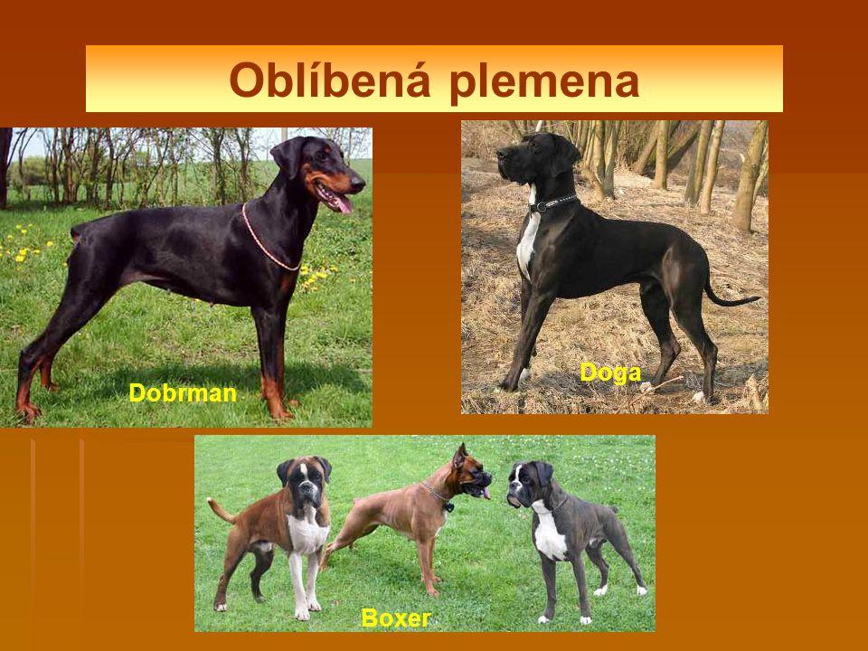 Oblíbená plemena Dobrman Doga Boxer