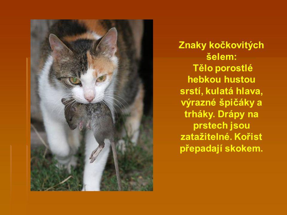 Znaky kočkovitých šelem: Tělo porostlé hebkou hustou srstí, kulatá hlava, výrazné špičáky a trháky.