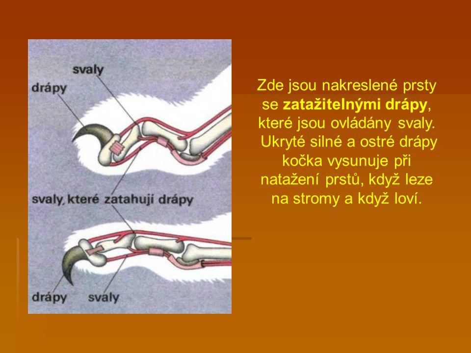 Zde jsou nakreslené prsty se zatažitelnými drápy, které jsou ovládány svaly.