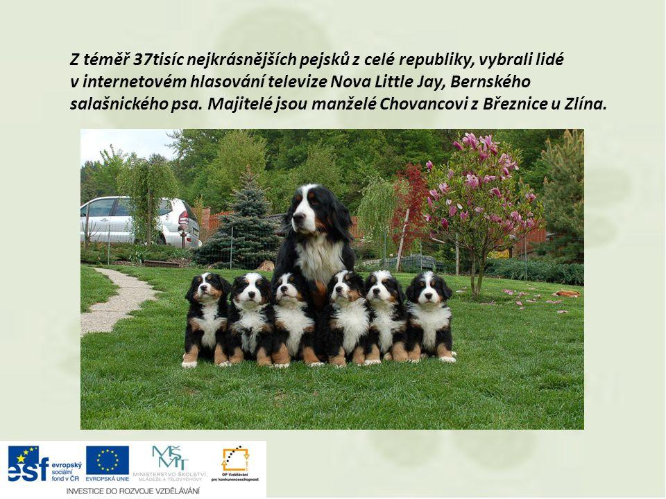 Z téměř 37tisíc nejkrásnějších pejsků z celé republiky, vybrali lidé v internetovém hlasování televize Nova Little Jay, Bernského salašnického psa. Ma
