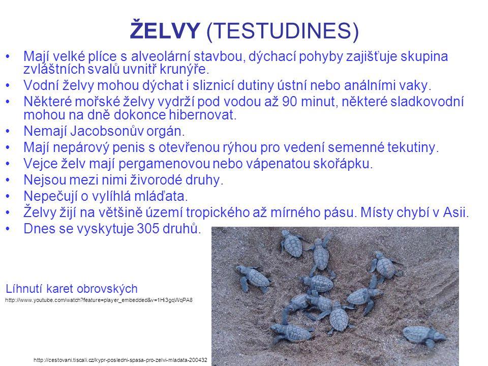 ŽELVY (TESTUDINES) Mají velké plíce s alveolární stavbou, dýchací pohyby zajišťuje skupina zvláštních svalů uvnitř krunýře. Vodní želvy mohou dýchat i