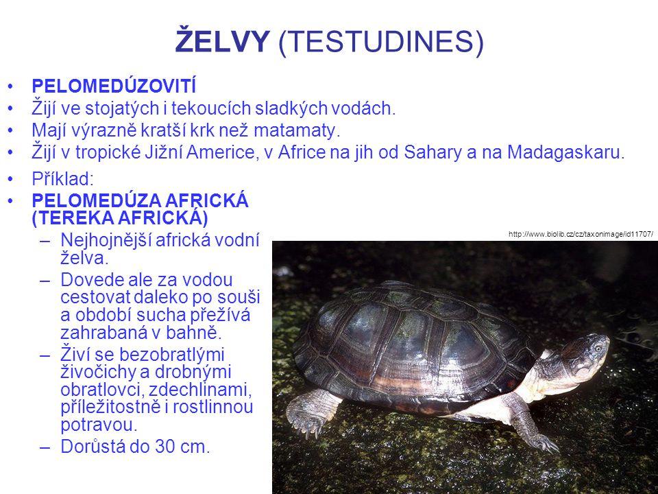 ŽELVY (TESTUDINES) Příklad: PELOMEDÚZA AFRICKÁ (TEREKA AFRICKÁ) –Nejhojnější africká vodní želva. –Dovede ale za vodou cestovat daleko po souši a obdo