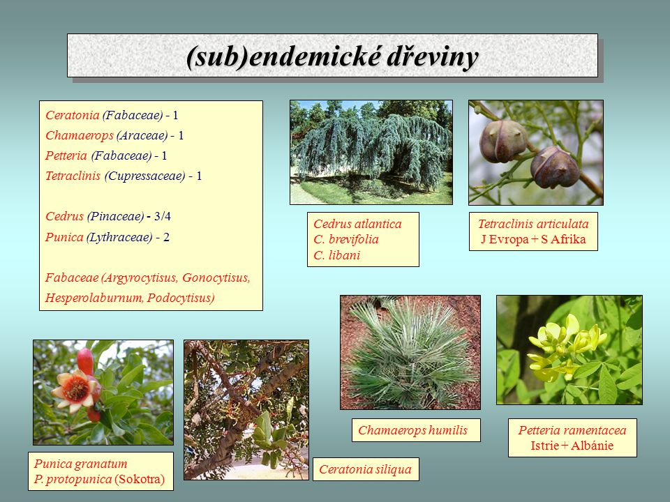 (sub)endemické dřeviny Ceratonia (Fabaceae) - 1 Chamaerops (Araceae) - 1 Petteria (Fabaceae) - 1 Tetraclinis (Cupressaceae) - 1 Cedrus (Pinaceae) - 3/