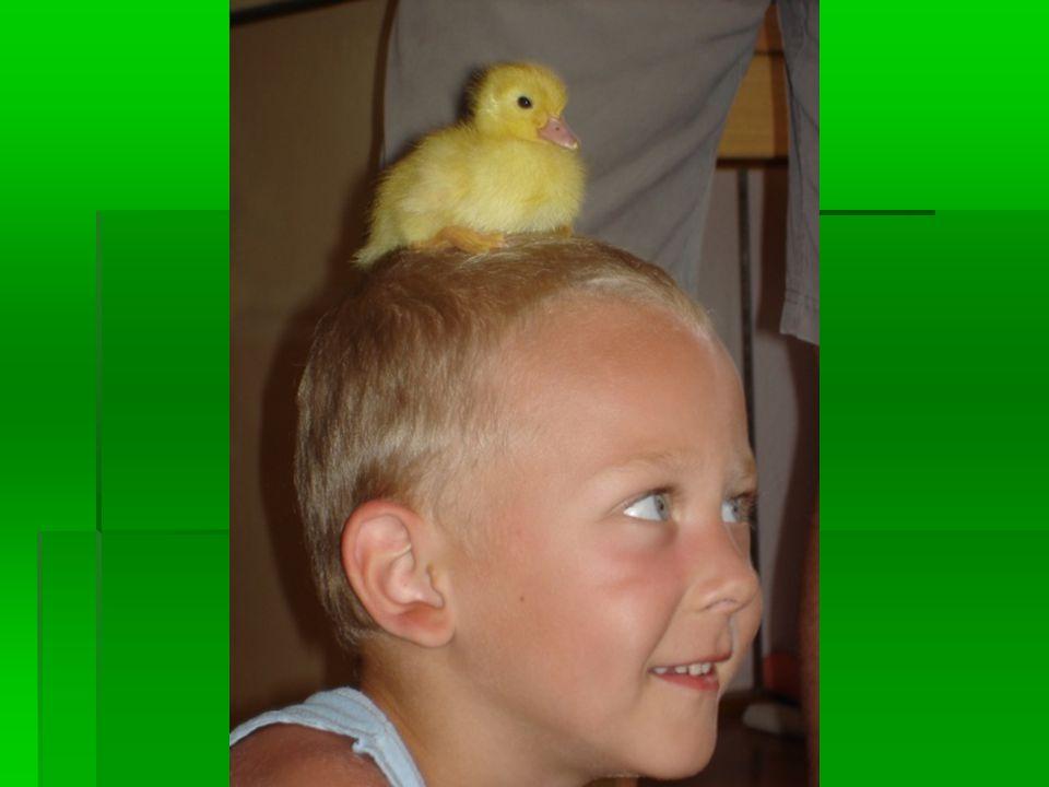 Velikonoční hry Koulení vajec* Pozor na kunu-vejce si předávají nad hlavami, mezi nohama* Pozor na kunu 2-dvojice, napnutý šátek-uprostřed vejce a projít dráhu* Kvočna hledá kuřátka-zavázat oči kvočně, podle pípání chytá kuřata Kuřátko zapípej-jako kukačko zakukej.