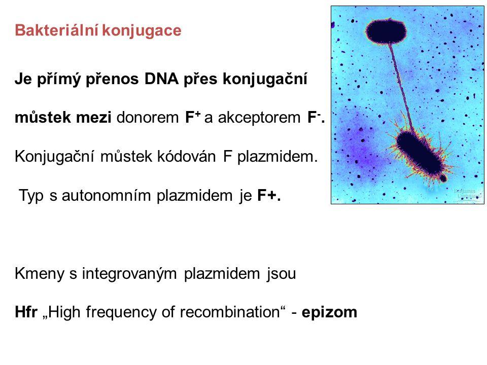 Bakteriální konjugace Je přímý přenos DNA přes konjugační můstek mezi donorem F + a akceptorem F -. Konjugační můstek kódován F plazmidem. Typ s auton