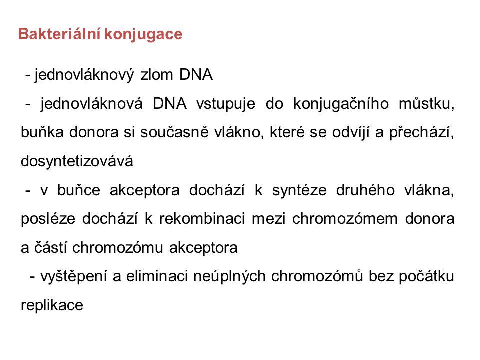 - jednovláknový zlom DNA - jednovláknová DNA vstupuje do konjugačního můstku, buňka donora si současně vlákno, které se odvíjí a přechází, dosyntetizo