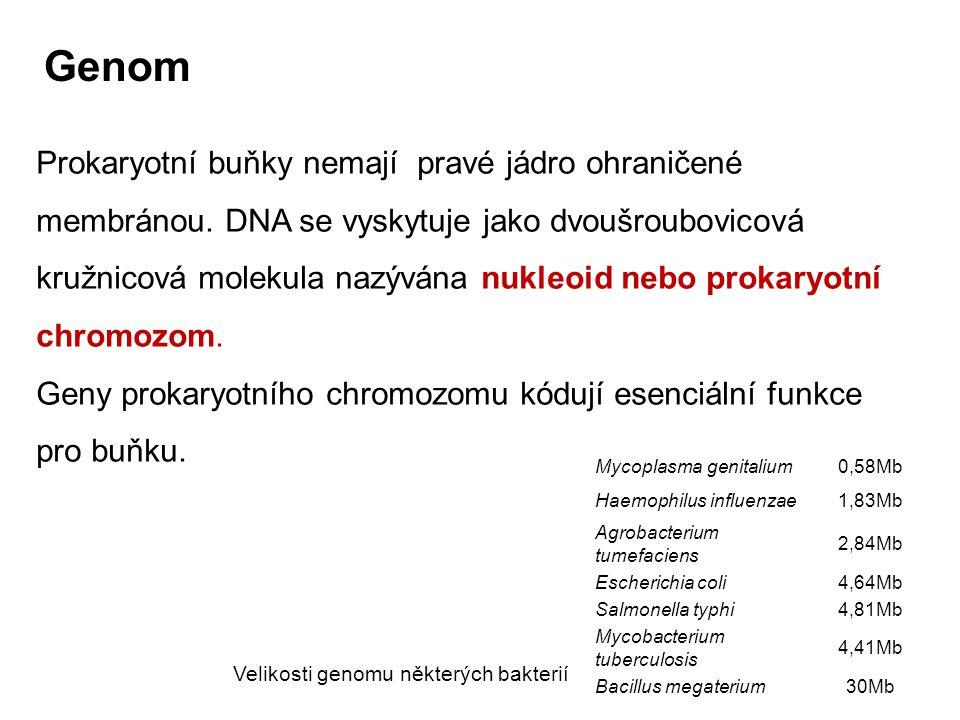 Genom Prokaryotní buňky nemají pravé jádro ohraničené membránou. DNA se vyskytuje jako dvoušroubovicová kružnicová molekula nazývána nukleoid nebo pro
