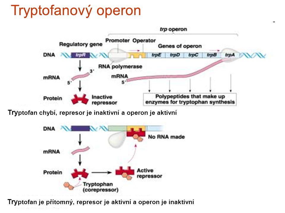 Tryptofanový operon Try ptofan chybí, represor je inaktivní a operon je aktivní Try ptofan je přítomný, represor je aktivní a operon je inaktivní