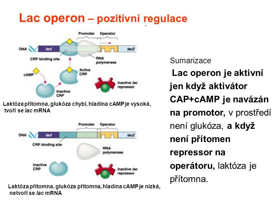 Sumarizace Lac operon je aktivní jen když aktivátor CAP+cAMP je navázán na promotor, v prostředí není glukóza, a když není přítomen repressor na operá
