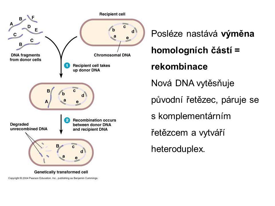Posléze nastává výměna homologních částí = rekombinace Nová DNA vytěsňuje původní řetězec, páruje se s komplementárním řetězcem a vytváří heteroduplex