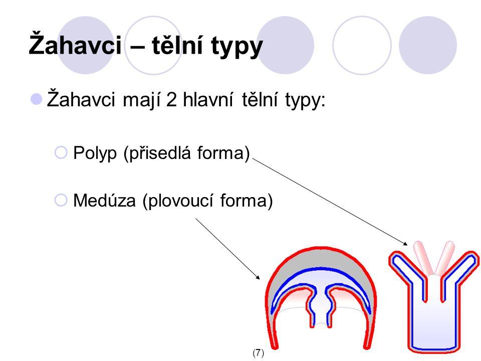 Žahavci – tělní typy Žahavci mají 2 hlavní tělní typy:  Polyp (přisedlá forma)  Medúza (plovoucí forma) (7)