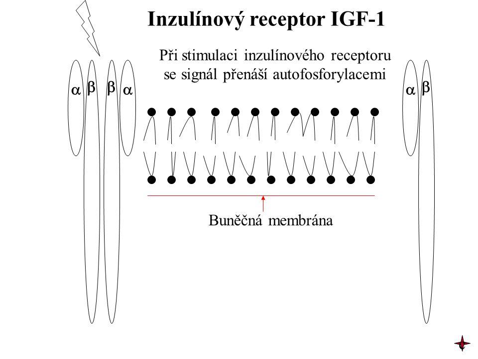   Inzulínový receptor IGF-1 Při stimulaci inzulínového receptoru se signál přenáší autofosforylacemi Buněčná membrána c