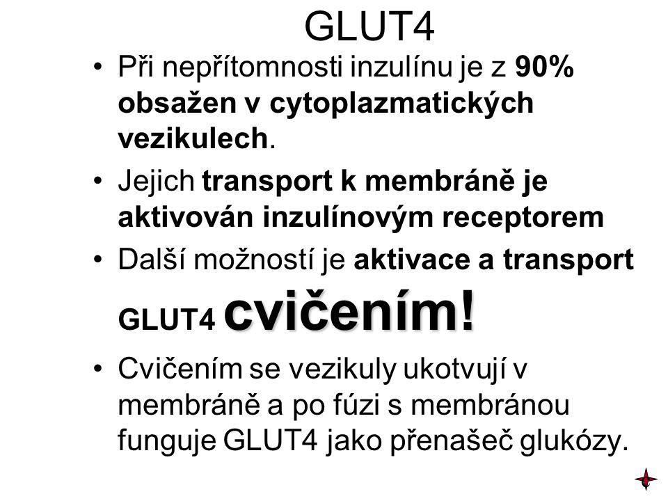 GLUT4 Při nepřítomnosti inzulínu je z 90% obsažen v cytoplazmatických vezikulech. Jejich transport k membráně je aktivován inzulínovým receptorem cvič