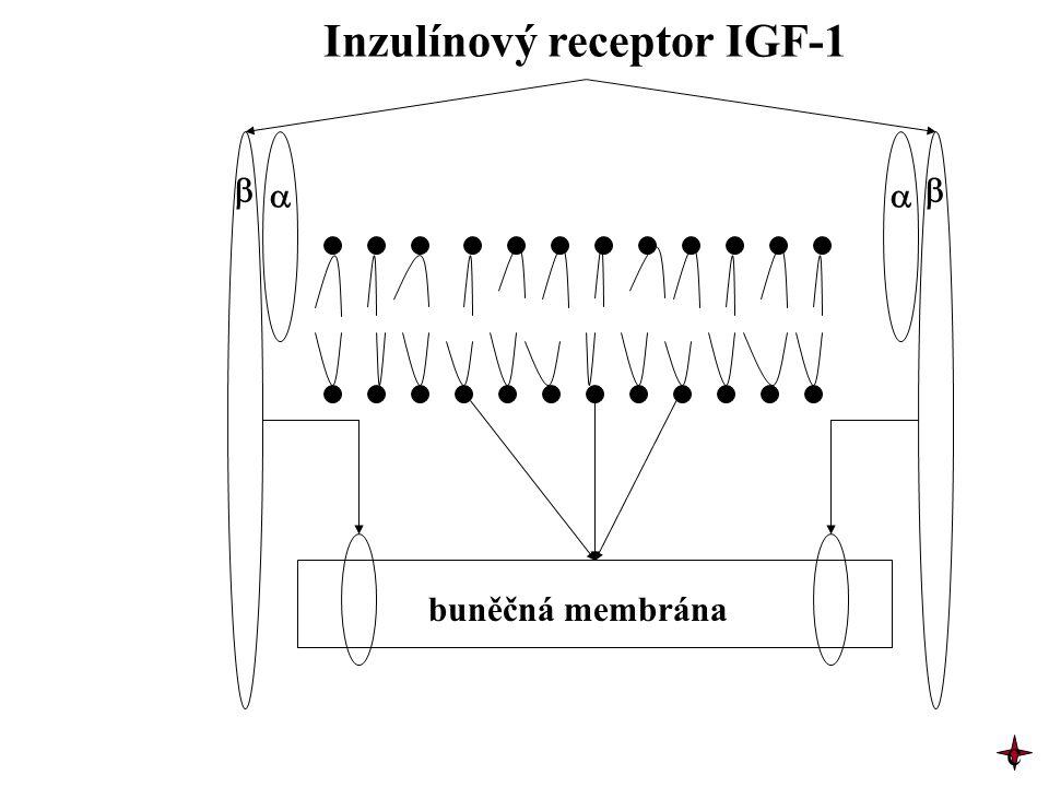    Inzulínový receptor IGF-1 buněčná membrána c