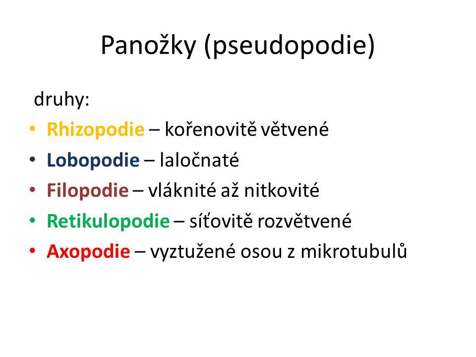 Panožky (pseudopodie) druhy: Rhizopodie – kořenovitě větvené Lobopodie – laločnaté Filopodie – vláknité až nitkovité Retikulopodie – síťovitě rozvětve