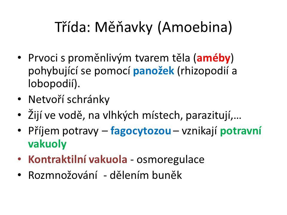 Třída: Měňavky (Amoebina) Prvoci s proměnlivým tvarem těla (améby) pohybující se pomocí panožek (rhizopodií a lobopodií). Netvoří schránky Žijí ve vod
