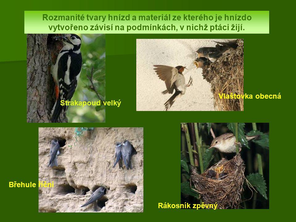 Strakapoud velký Rozmanité tvary hnízd a materiál ze kterého je hnízdo vytvořeno závisí na podmínkách, v nichž ptáci žijí. Břehule říční Rákosník zpěv