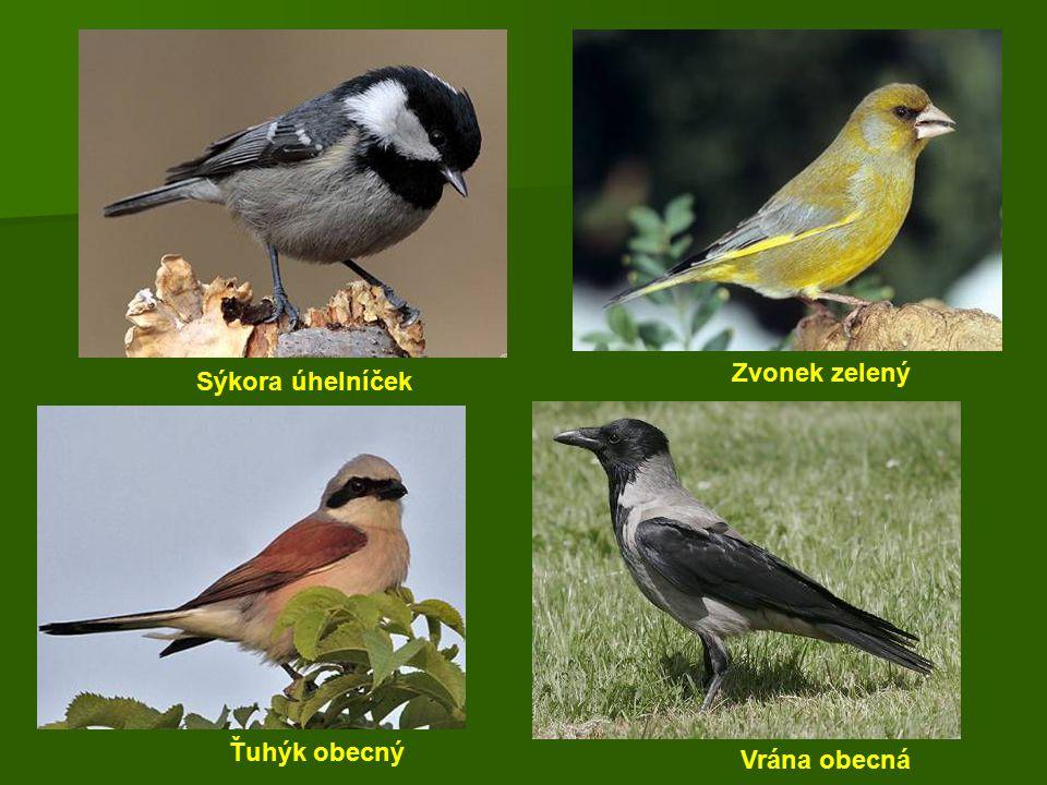 Sýkora úhelníček Zvonek zelený Ťuhýk obecný Vrána obecná