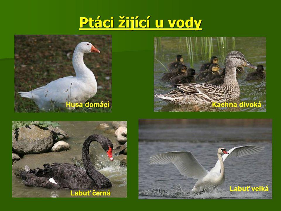Ptáci žijící u vody Husa domácíKachna divoká Labuť černá Labuť velká