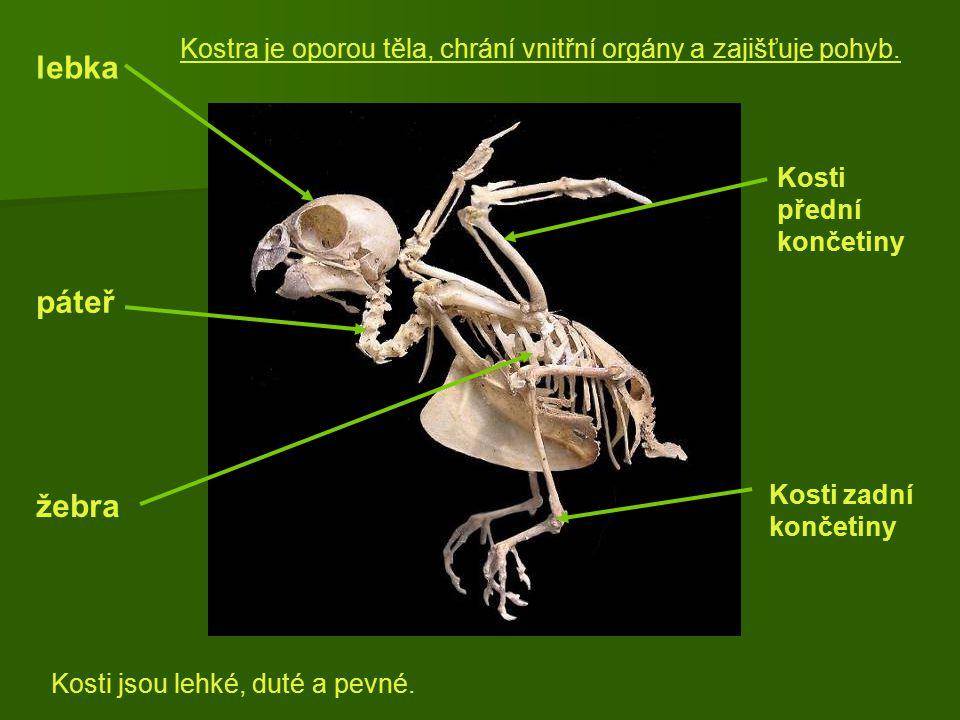 lebka páteř žebra Kosti přední končetiny Kosti zadní končetiny Kosti jsou lehké, duté a pevné. Kostra je oporou těla, chrání vnitřní orgány a zajišťuj