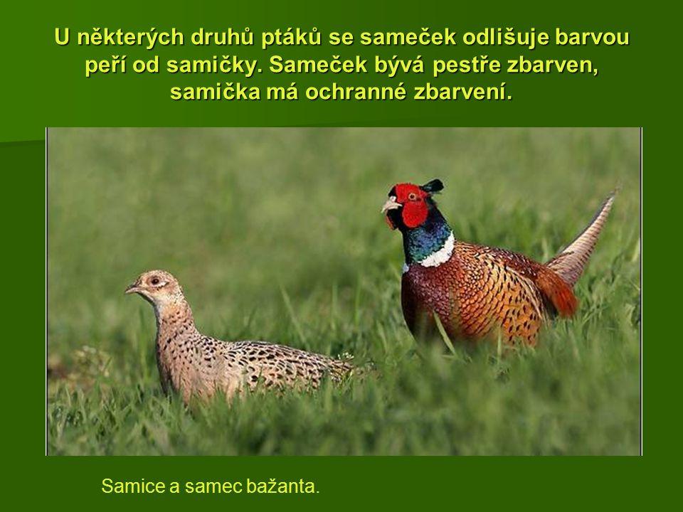 U některých druhů ptáků se sameček odlišuje barvou peří od samičky. Sameček bývá pestře zbarven, samička má ochranné zbarvení. Samice a samec bažanta.