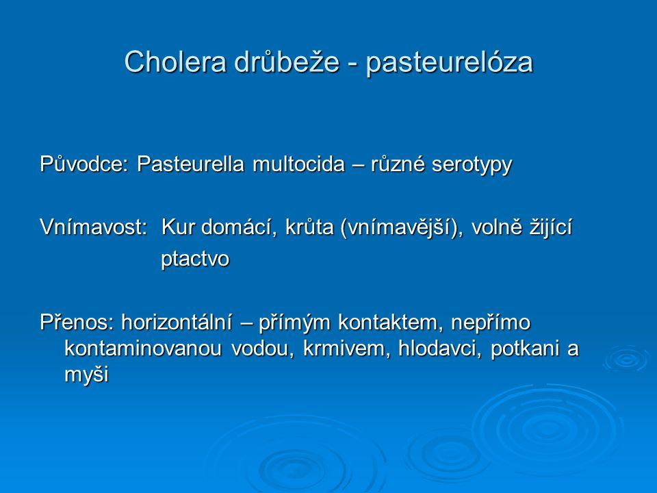 Cholera drůbeže – klinické příznaky Akutní forma - anorexie sklíčenost sklíčenost snížený příjem krmiva snížený příjem krmiva načepýřené peří načepýřené peří výtok ze zobáku výtok ze zobáku průjem průjem pokles produkce vajec pokles produkce vajec vyšší mortalita vyšší mortalita Chronická forma – otoky kloubů, lalůčků sinů nízká mortalita nízká mortalita