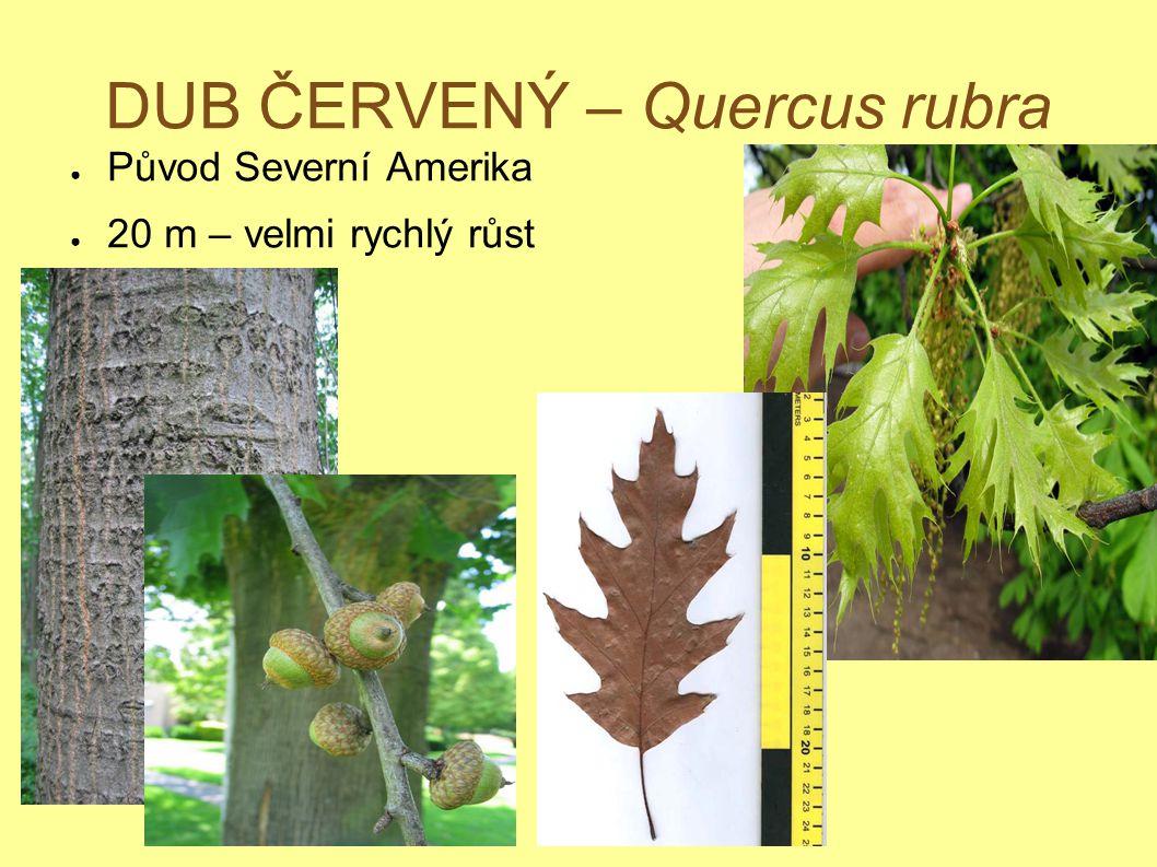 DUB ČERVENÝ – Quercus rubra ● Původ Severní Amerika ● 20 m – velmi rychlý růst