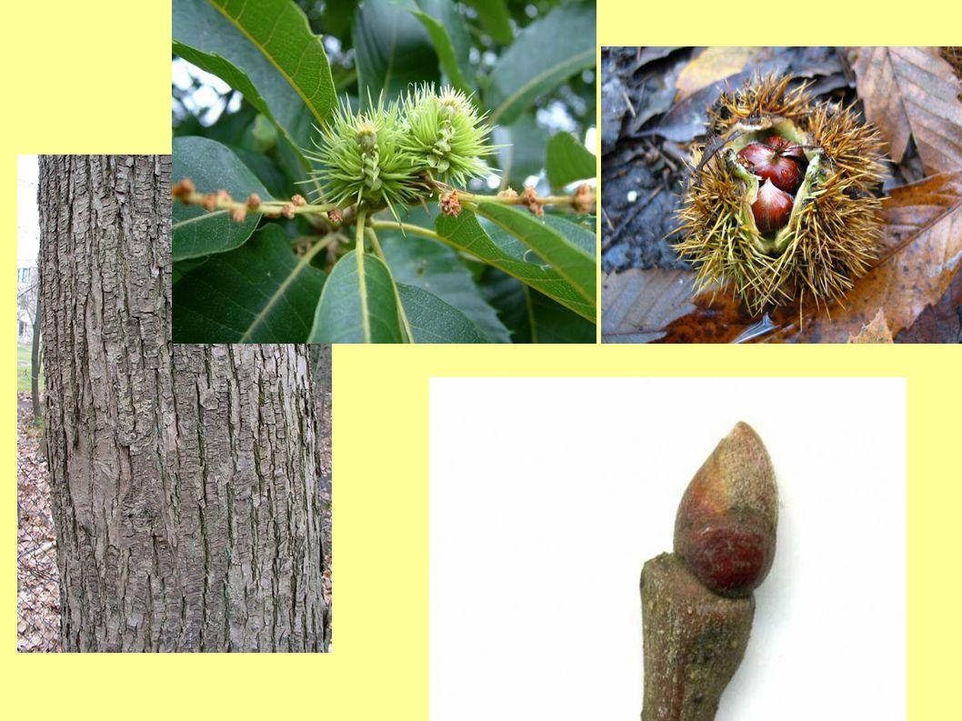 Včel.význam : Zdroj pylu – velmi jakostní, žlutý Zdroj nektaru – velmi dobrý zdroj Někdy menší zdroj medovice