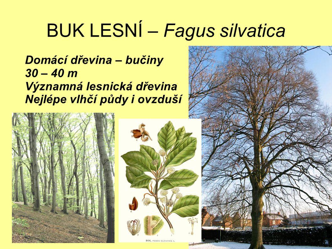 BUK LESNÍ – Fagus silvatica Domácí dřevina – bučiny 30 – 40 m Významná lesnická dřevina Nejlépe vlhčí půdy i ovzduší