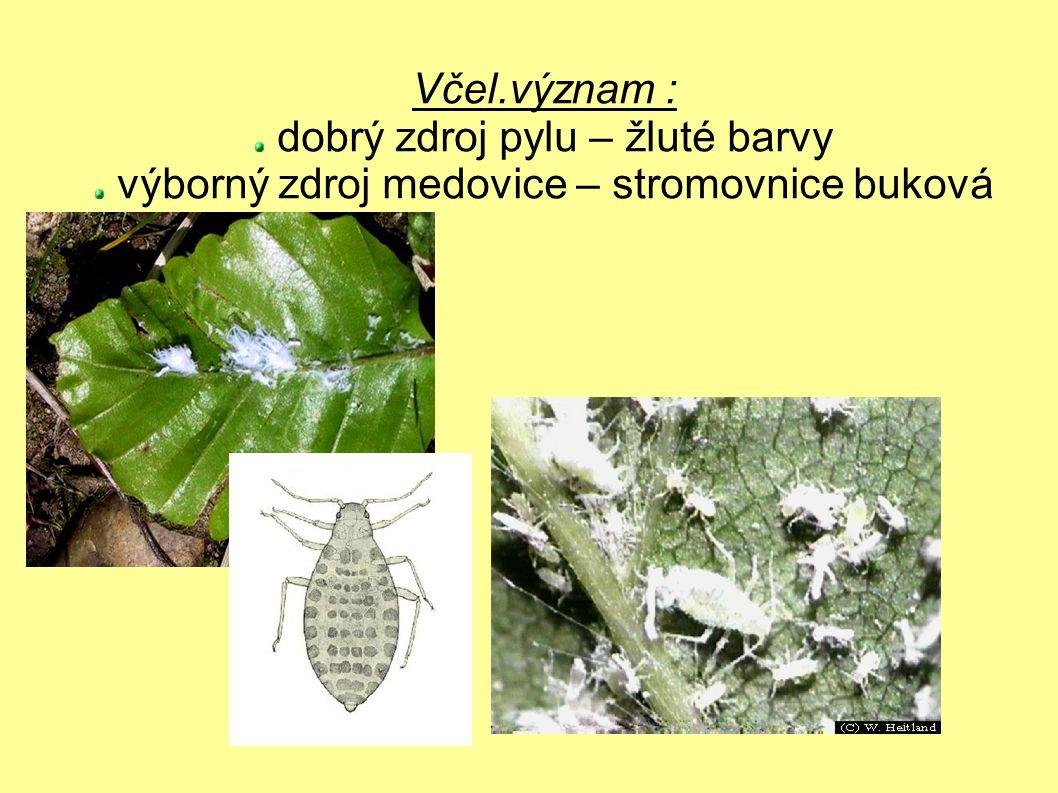 Včel.význam : dobrý zdroj pylu – žluté barvy výborný zdroj medovice – stromovnice buková