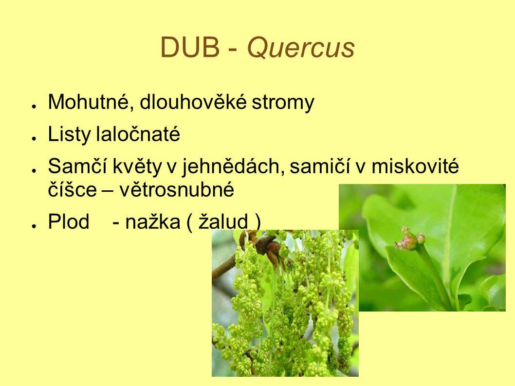DUB - Quercus ● Mohutné, dlouhověké stromy ● Listy laločnaté ● Samčí květy v jehnědách, samičí v miskovité číšce – větrosnubné ● Plod - nažka ( žalud