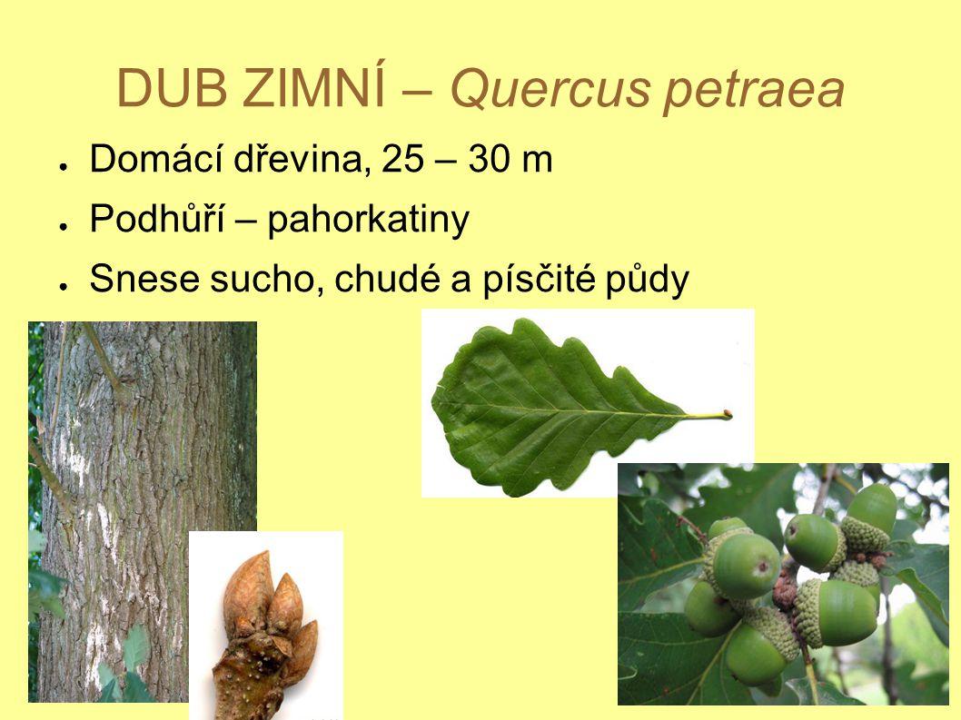 DUB ZIMNÍ – Quercus petraea ● Domácí dřevina, 25 – 30 m ● Podhůří – pahorkatiny ● Snese sucho, chudé a písčité půdy