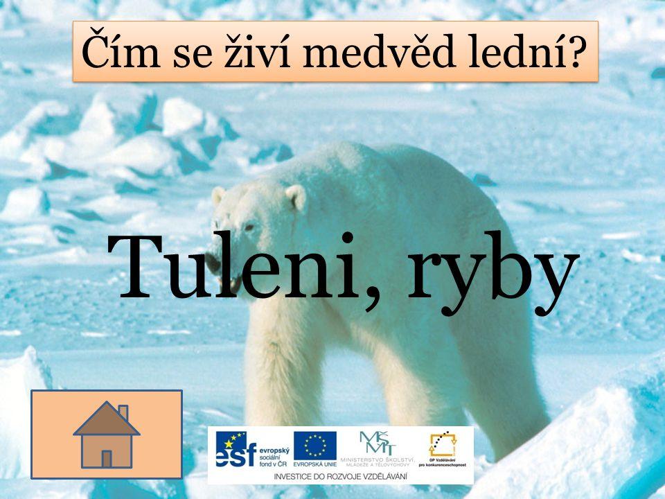 Čím se živí medvěd lední? Tuleni, ryby