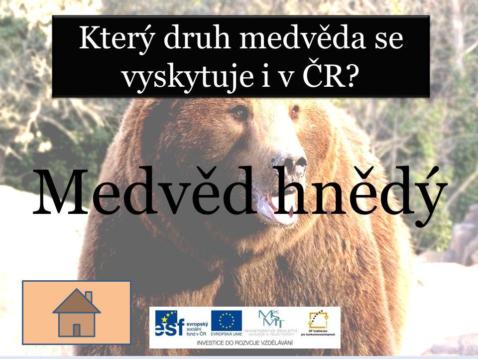 Který druh medvěda se vyskytuje i v ČR? Medvěd hnědý