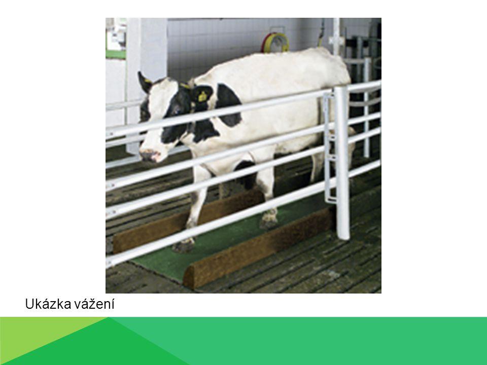 ZJIŠŤOVÁNÍ ŽIVÉ HMOTNOSTI ZVÍŘAT Zjišťování živé hmotnosti u telat Dodržování zásad při vážení Instalace váhy na rovině Vyvážení váhy (posunutím závaží na kratším konci vahadla) Kontrola vyvážení Zapisování údajů (č.zvířete, zjištěná hmotnost) Označit zvážená zvířata volně ustájená