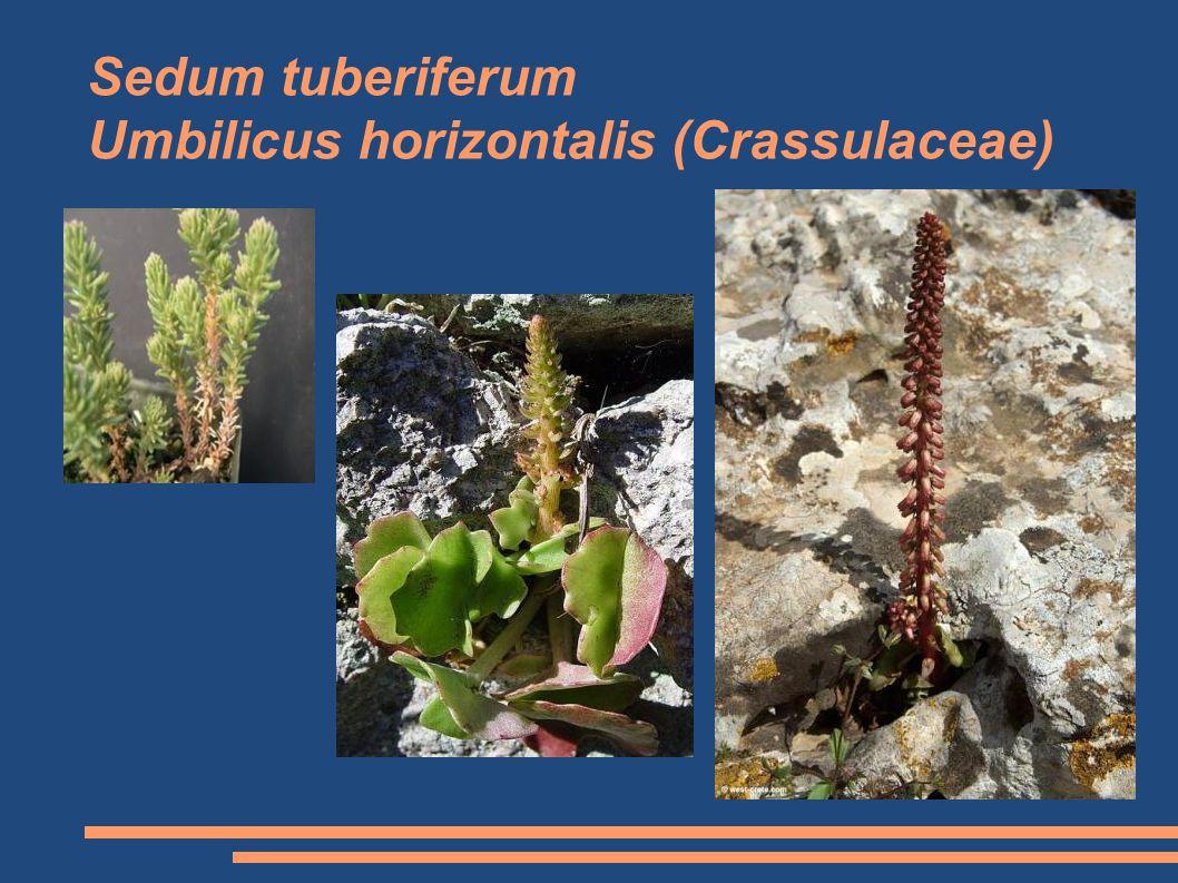 Sedum tuberiferum Umbilicus horizontalis (Crassulaceae)