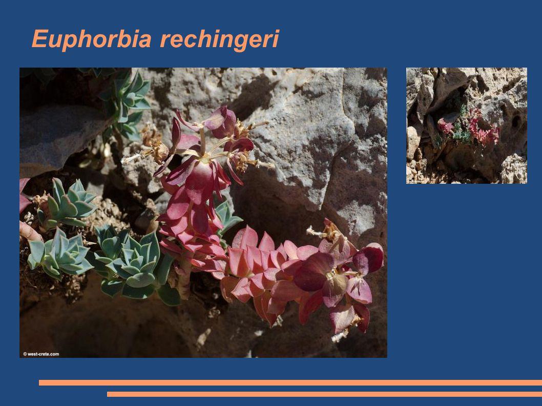 Euphorbia rechingeri