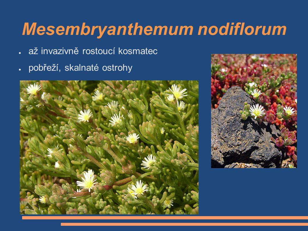 Mesembryanthemum nodiflorum ● až invazivně rostoucí kosmatec ● pobřeží, skalnaté ostrohy