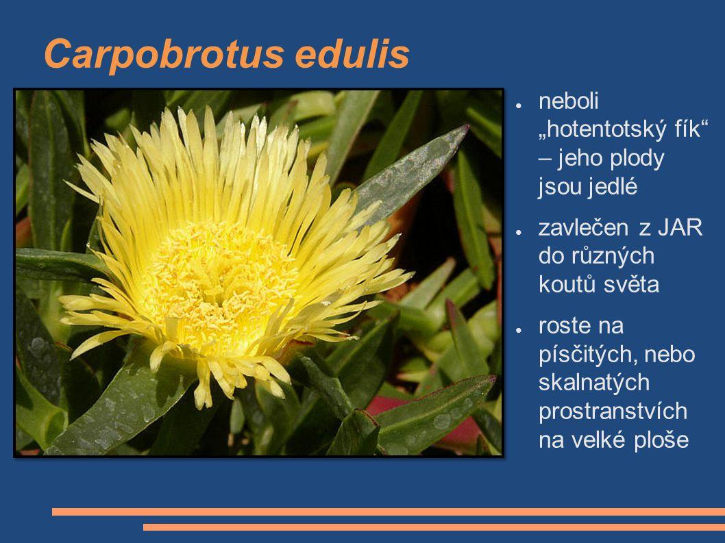 """Carpobrotus edulis ● neboli """"hotentotský fík"""" – jeho plody jsou jedlé ● zavlečen z JAR do různých koutů světa ● roste na písčitých, nebo skalnatých pr"""
